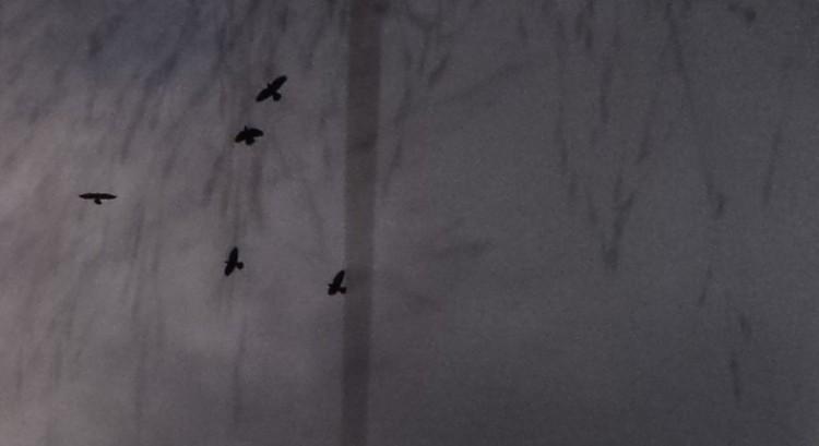Vögel sw