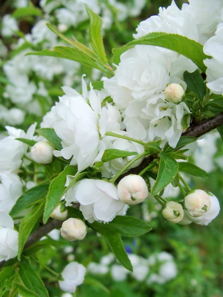Blüten weiß