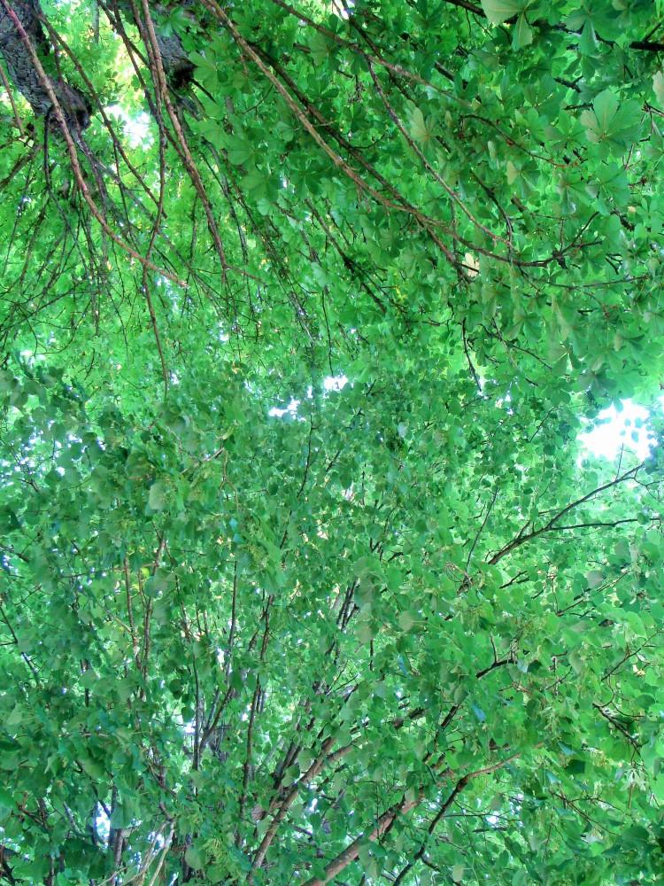 Baum Blätterdach