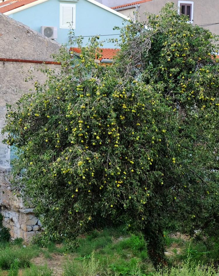 Baum Obst