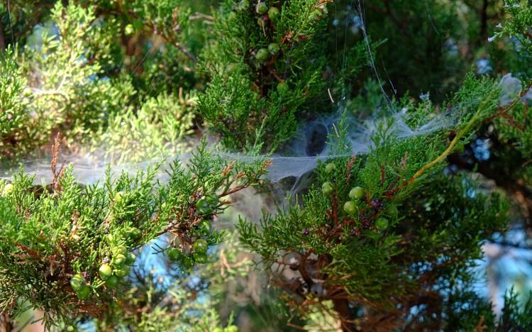 Baum Spinnfäden