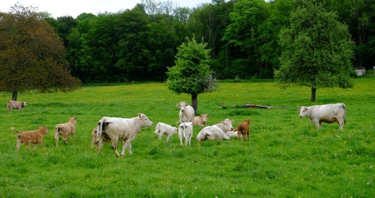 Kuh Wiese