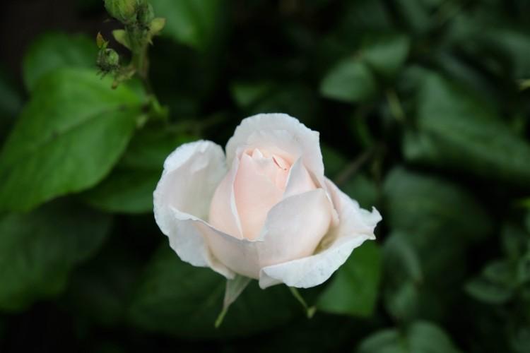 Rosenblüte weiß