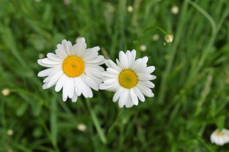 ganseblumchen-zwei