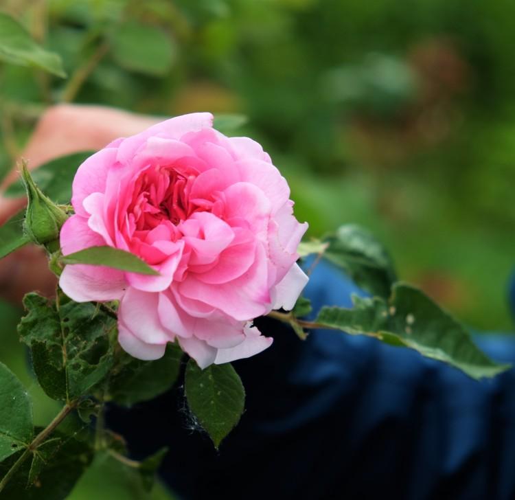 rose-garten