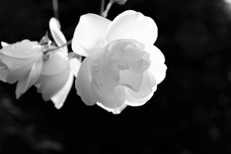 rose-sw