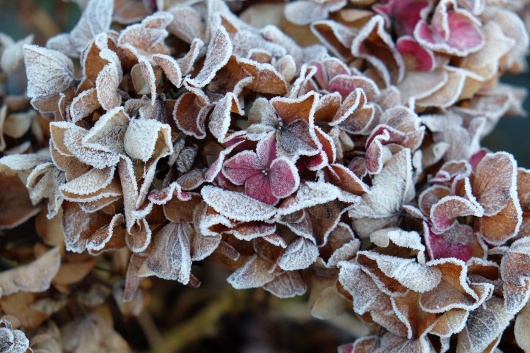 hortensie-frost