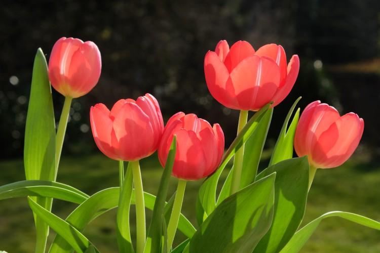 tulpen-rot