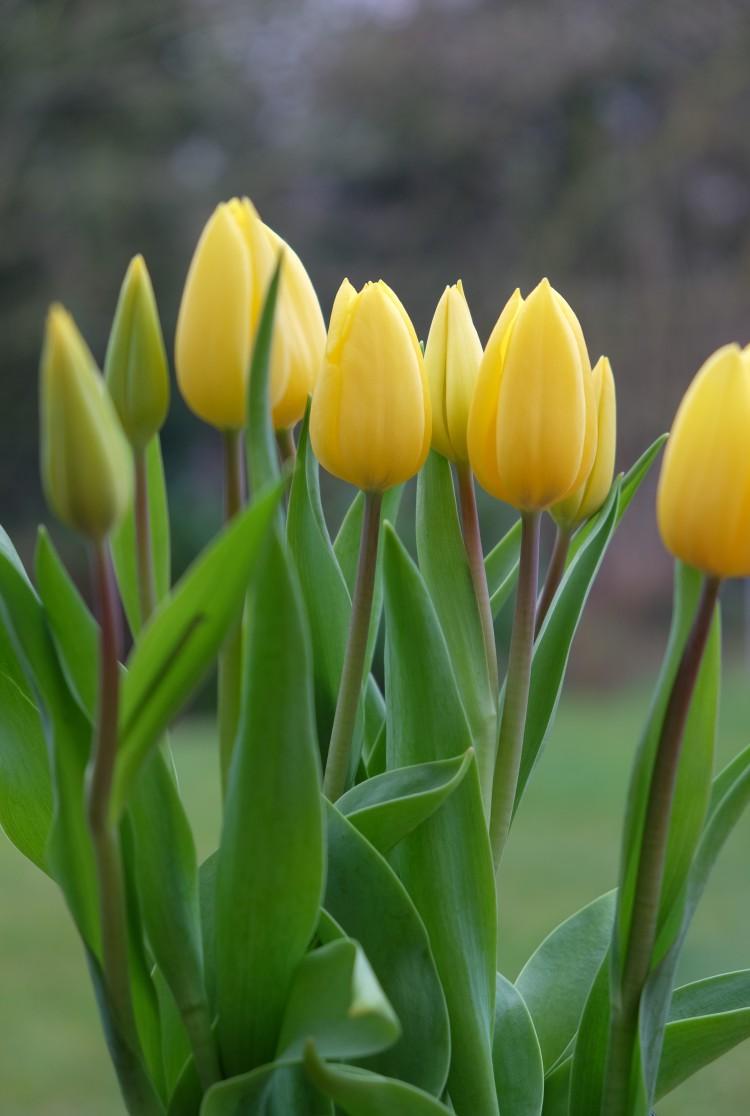 Tulpen g