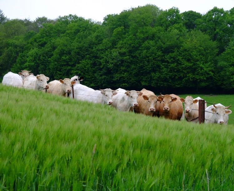 Kühe Wiese