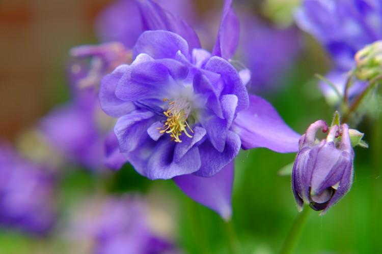 Blume A