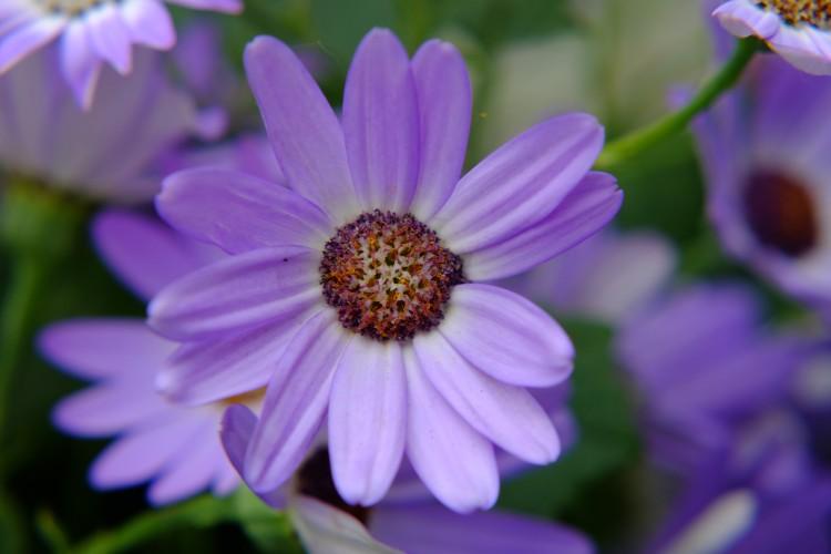 Blume l