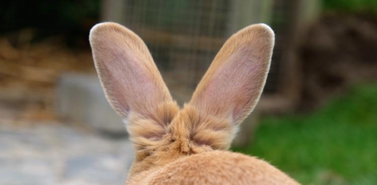 Kaninchen Ohren