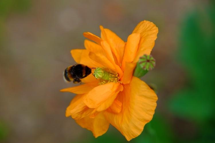 Mohnblüte Biene