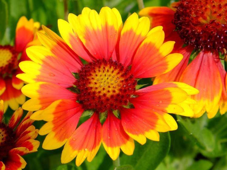 Blume Sonnenbr