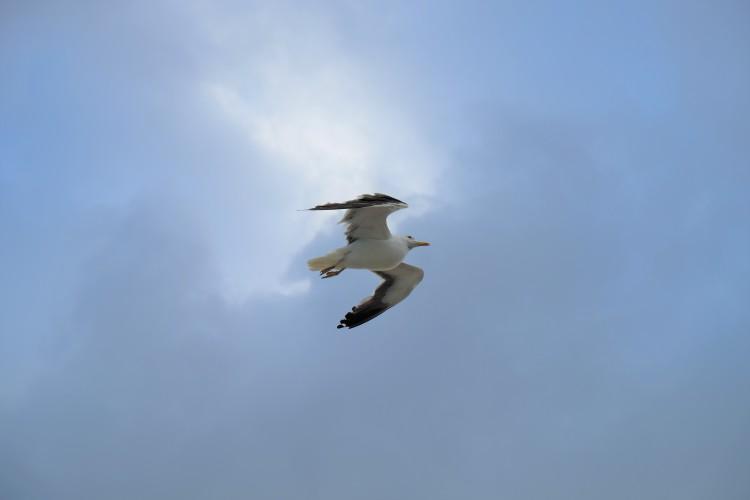 Vogel Möwe T