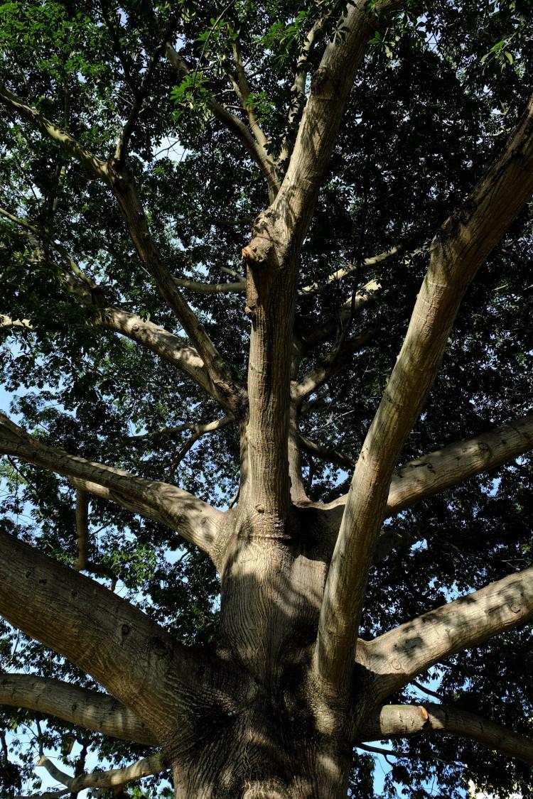 Baum Krone
