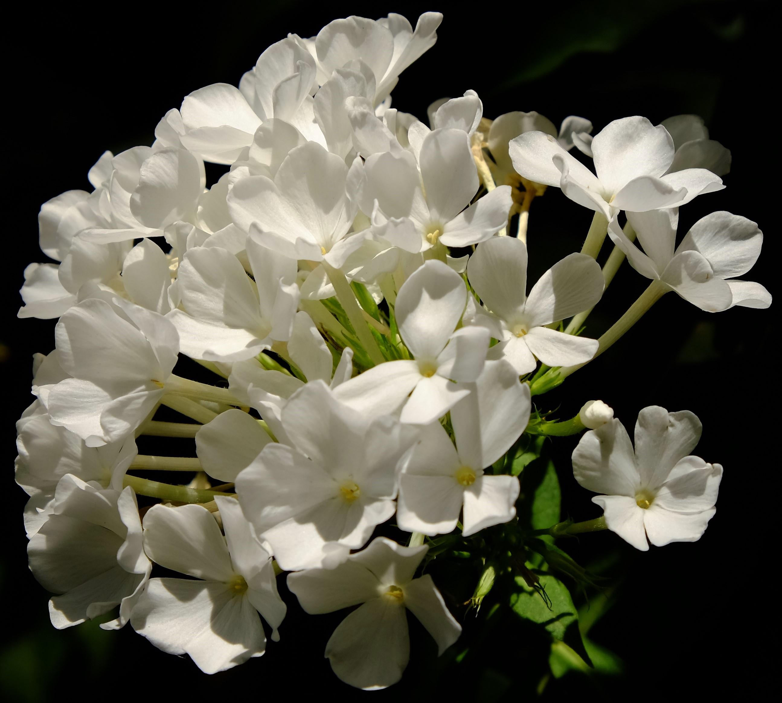 Blüte weiß U
