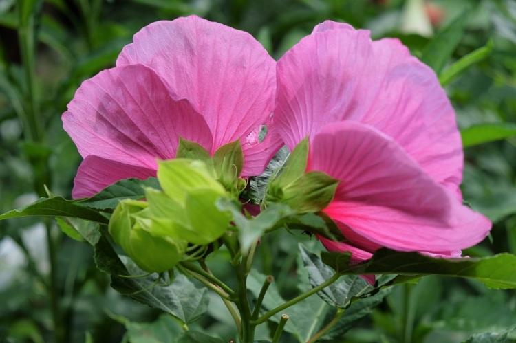 Blüte rose