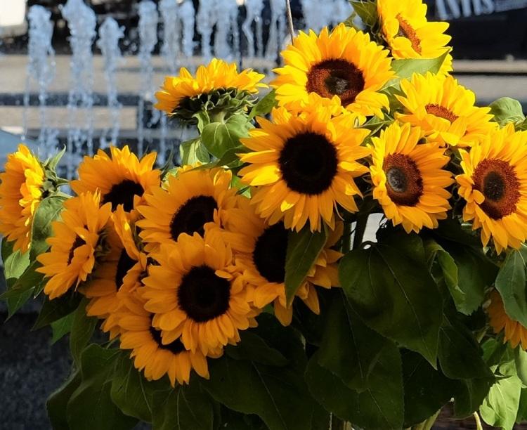 Sonnenblumen K