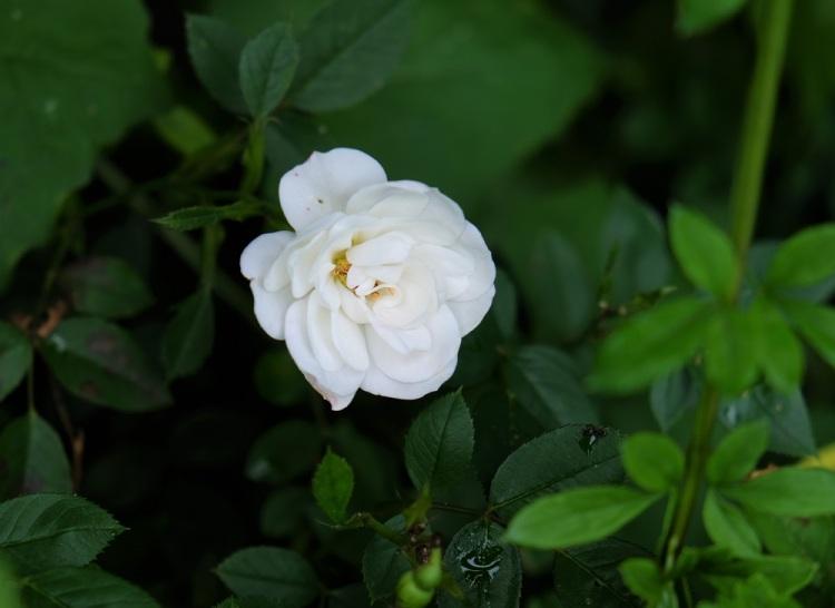 Rose weiß G