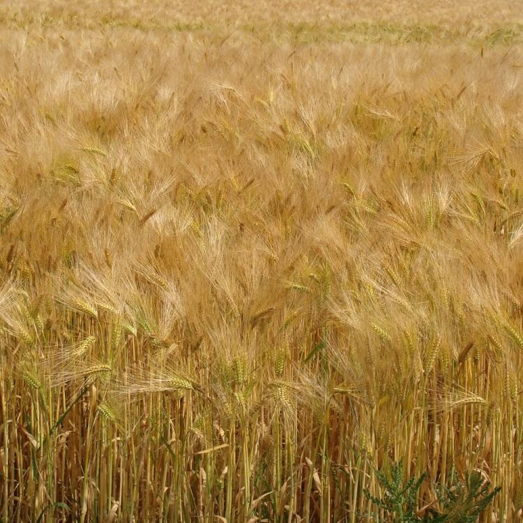 Feld Weizen