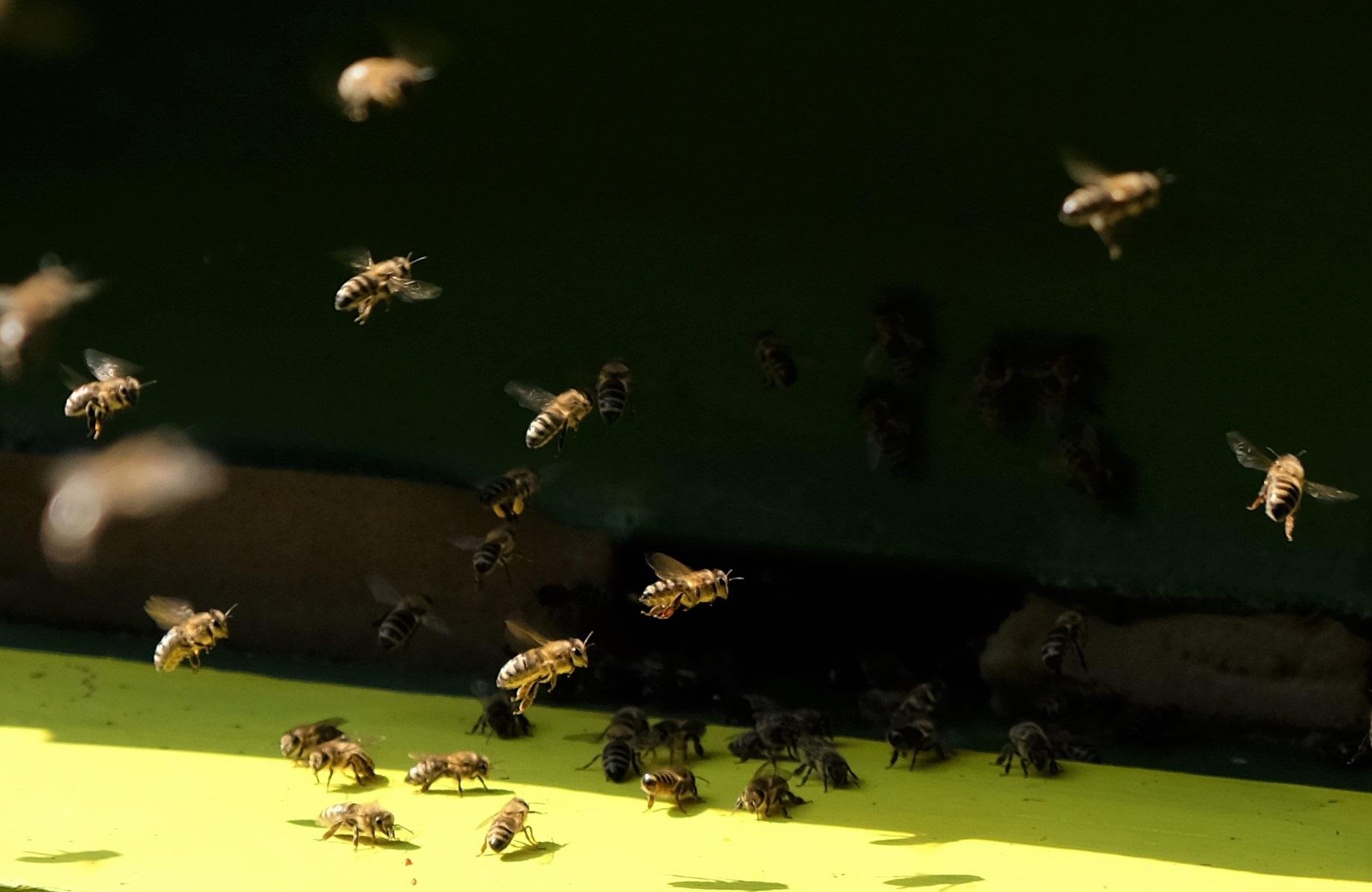 Bienen Anflug 1