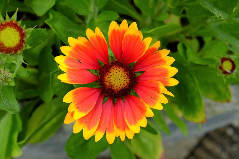 Blumen Sonnenbraut