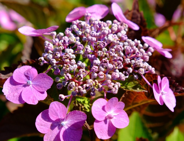 Blume Hortensie