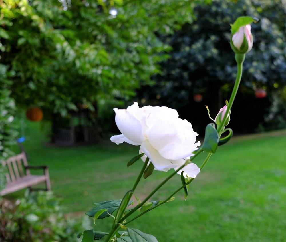 Rose September