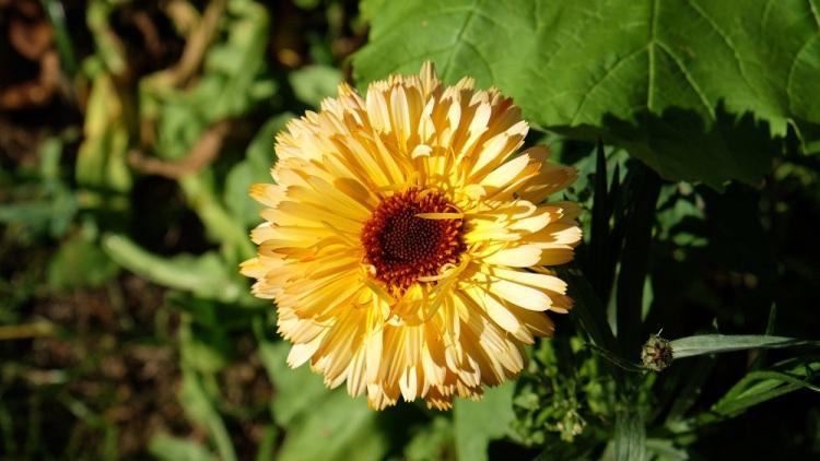 Blume H