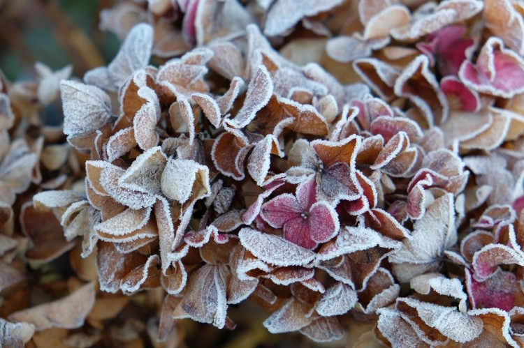 Blüten gefroren