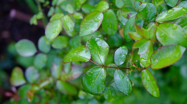 Regen Blätter