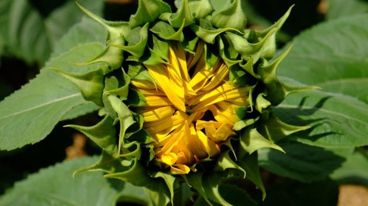 Sonnenblume öffnend